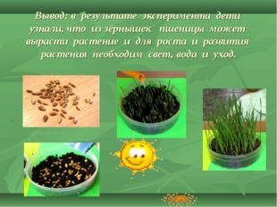 Вывод: в результате эксперимента дети узнали, что из зёрнышек пшеницы может в