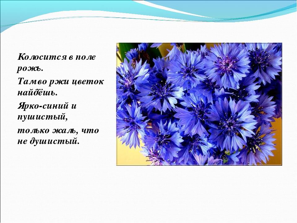 Колосится в поле рожь. Там во ржи цветок найдёшь. Ярко-синий и пушистый, толь...