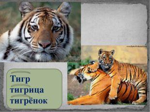 Тигр тигрица тигрёнок
