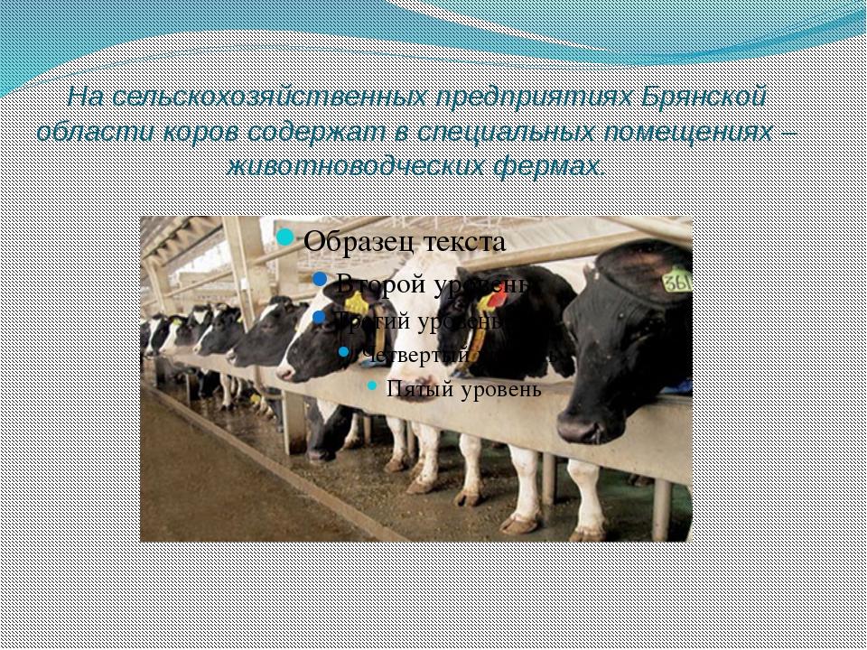 На сельскохозяйственных предприятиях Брянской области коров содержат в специа...