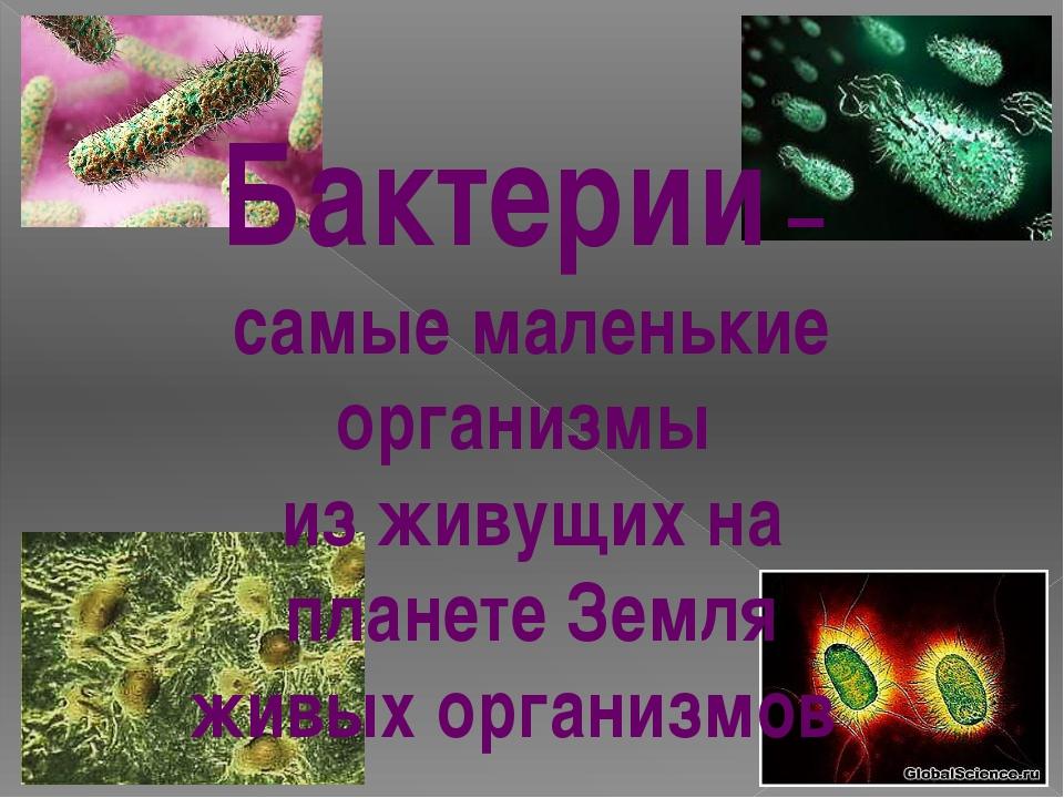 Бактерии – самые маленькие организмы из живущих на планете Земля живых органи...