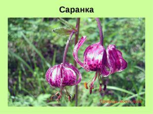 Саранка