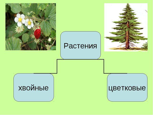 Растения хвойные цветковые