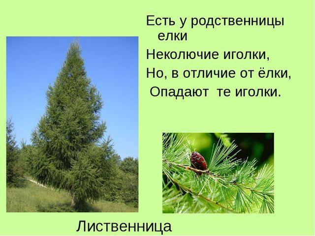 Есть у родственницы елки Неколючие иголки, Но, в отличие от ёлки, Опадают те...