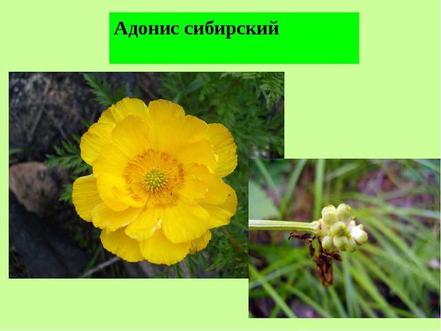 Адонис сибирский
