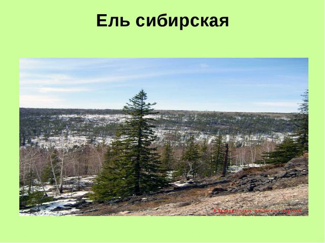 Ель сибирская