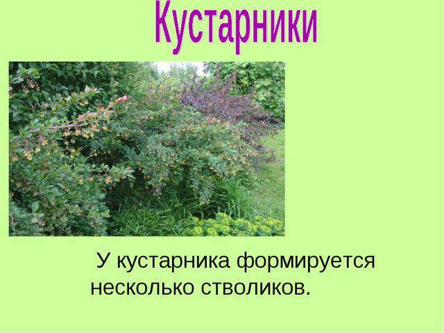 У кустарника формируется несколько стволиков.