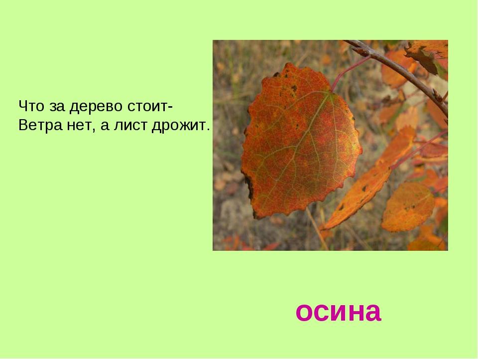 осина Что за дерево стоит- Ветра нет, а лист дрожит.
