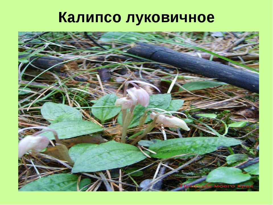 Калипсо луковичное