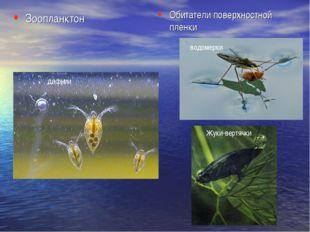 Зоопланктон Обитатели поверхностной пленки дафнии водомерки Жуки-вертячки