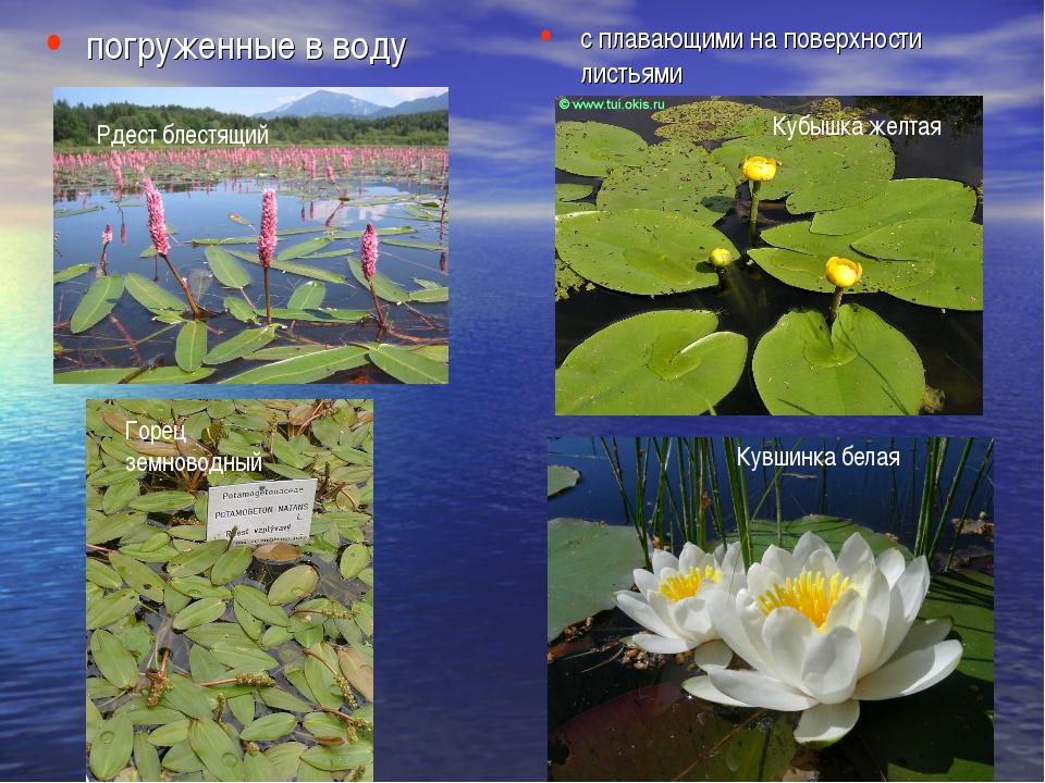 погруженные в воду с плавающими на поверхности листьями Кубышка желтая Кувшин...