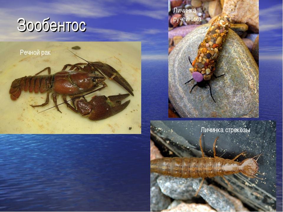 Зообентос Речной рак Личинка ручейника Личинка стрекозы