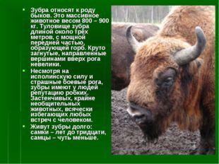 Зубра относят к роду быков. Это массивное животное весом 800 – 900 кг. Тулови