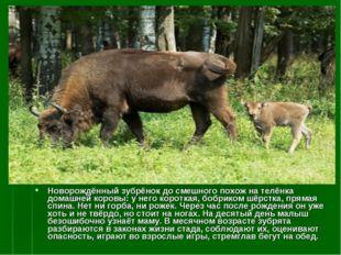 Новорождённый зубрёнок до смешного похож на телёнка домашней коровы: у него к