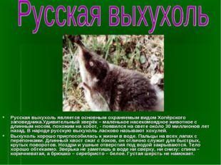 Русская выхухоль является основным охраняемым видом Хопёрского заповедника.Уд