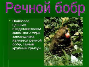 Наиболее ценным представителем животного мира заповедника является речной боб