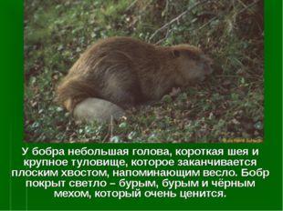 У бобра небольшая голова, короткая шея и крупное туловище, которое заканчивае