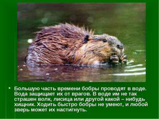 Большую часть времени бобры проводят в воде. Вода защищает их от врагов. В во