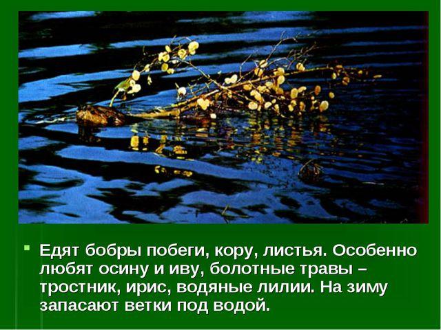 Едят бобры побеги, кору, листья. Особенно любят осину и иву, болотные травы –...