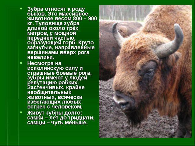 Зубра относят к роду быков. Это массивное животное весом 800 – 900 кг. Тулови...