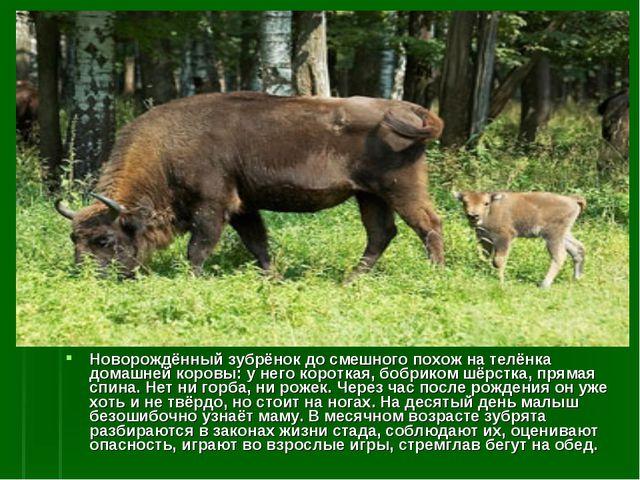 Новорождённый зубрёнок до смешного похож на телёнка домашней коровы: у него к...