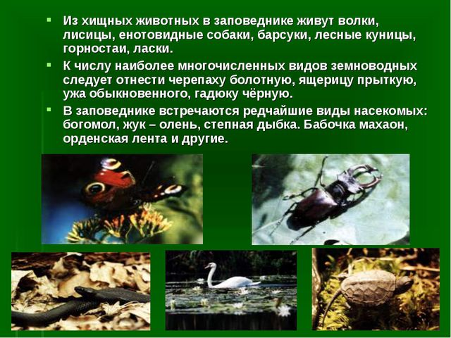 Из хищных животных в заповеднике живут волки, лисицы, енотовидные собаки, бар...