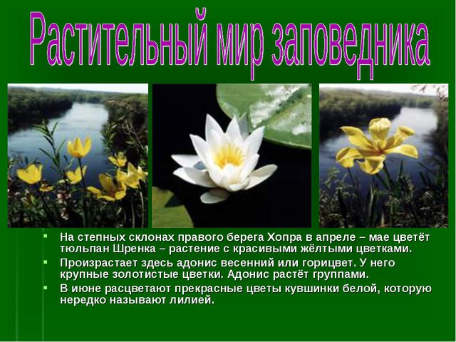 На степных склонах правого берега Хопра в апреле – мае цветёт тюльпан Шренка...