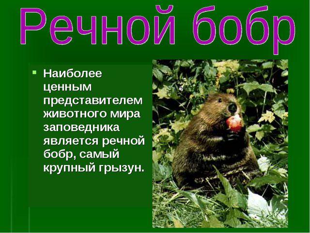 Наиболее ценным представителем животного мира заповедника является речной боб...