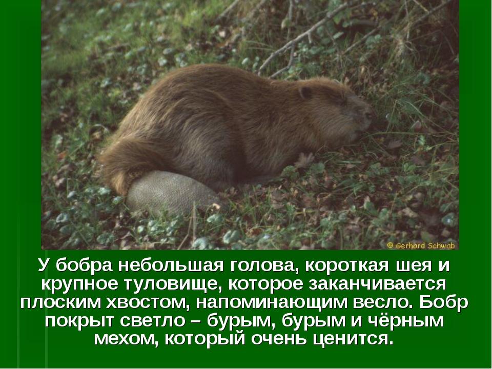 У бобра небольшая голова, короткая шея и крупное туловище, которое заканчивае...