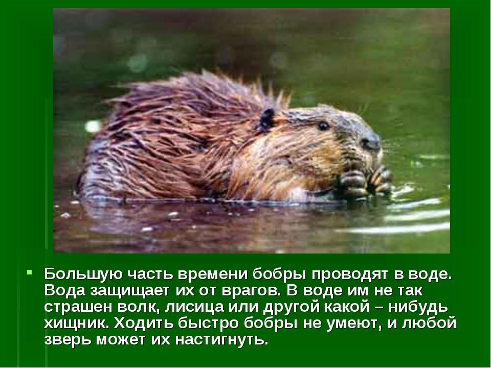 Большую часть времени бобры проводят в воде. Вода защищает их от врагов. В во...