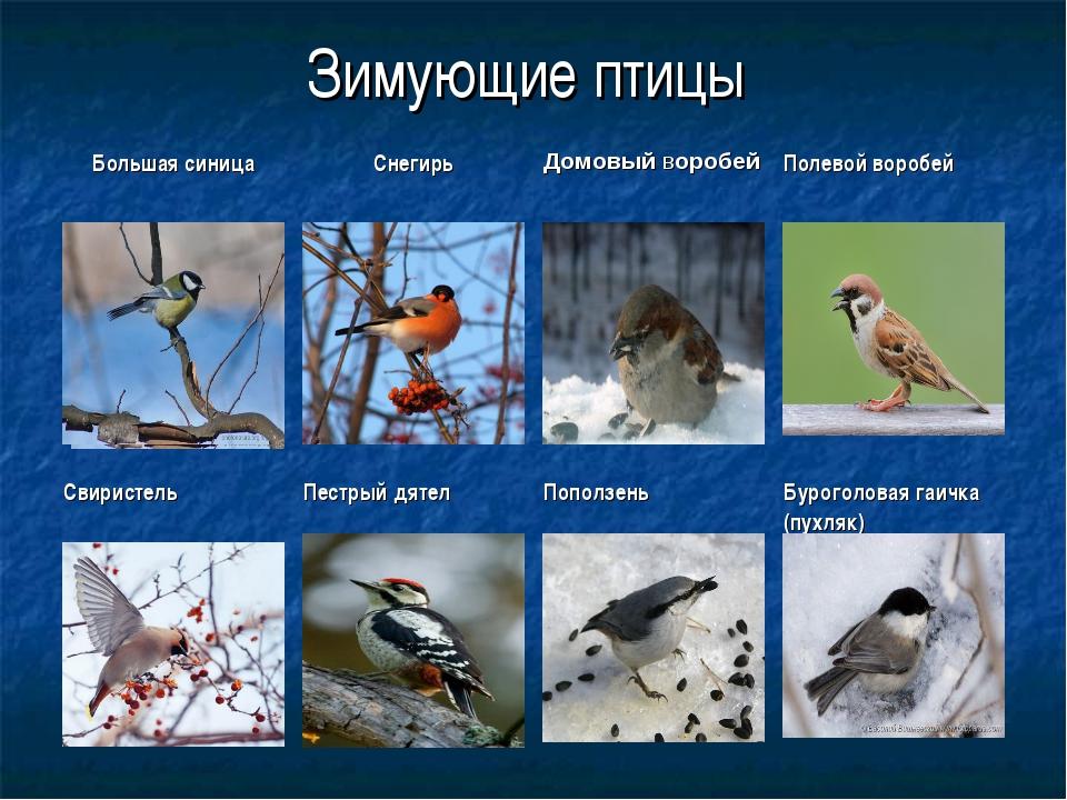 Зимующие птицы Большая синицаСнегирьДомовый воробейПолевой воробей Свирист...