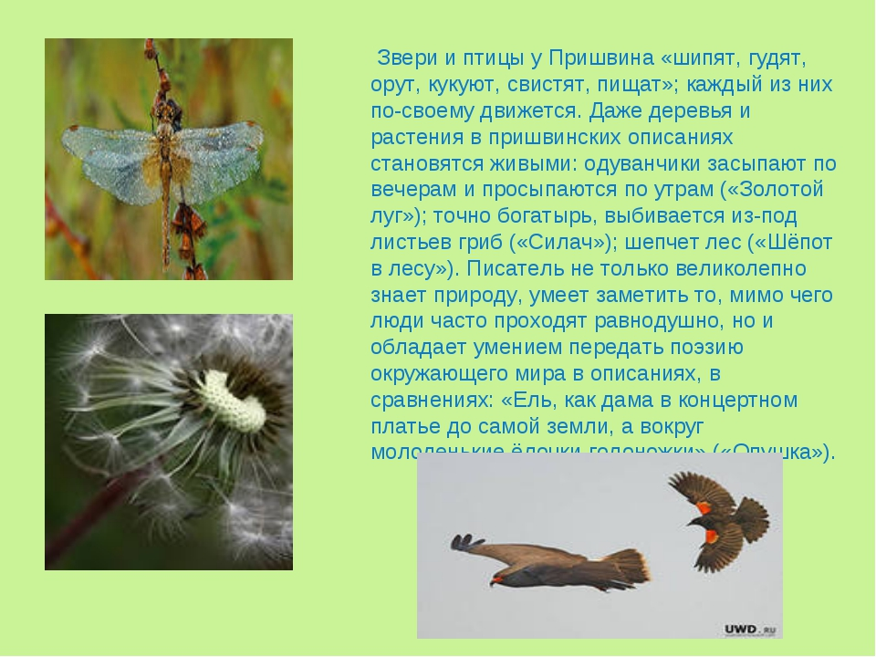 Звери и птицы у Пришвина «шипят, гудят, орут, кукуют, свистят, пищат»; кажды...