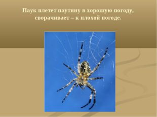Паук плетет паутину в хорошую погоду, сворачивает – к плохой погоде.