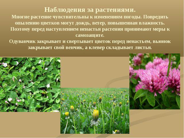 Наблюдения за растениями. Многие растение чувствительны к изменениям погоды....