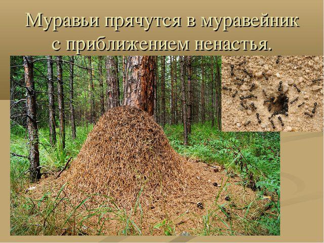 Муравьи прячутся в муравейник с приближением ненастья.