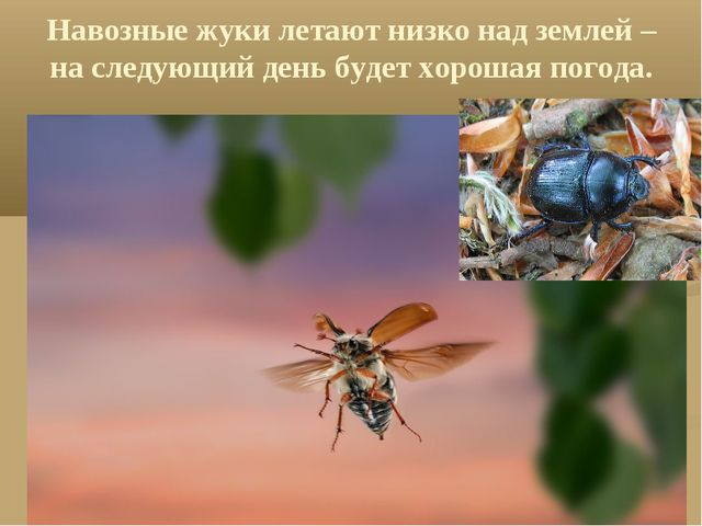 Навозные жуки летают низко над землей – на следующий день будет хорошая погода.