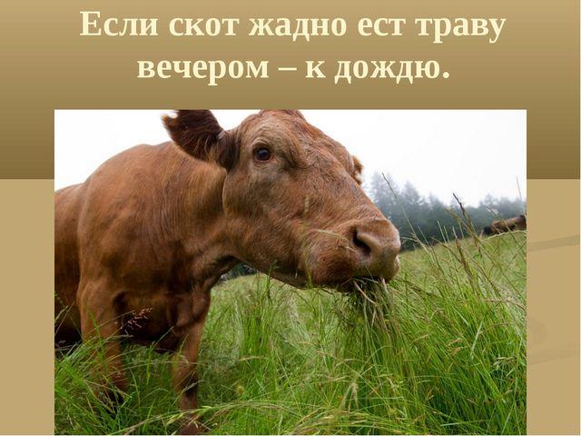 Если скот жадно ест траву вечером – к дождю.