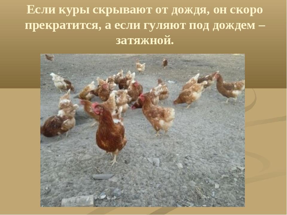 Если куры скрывают от дождя, он скоро прекратится, а если гуляют под дождем –...