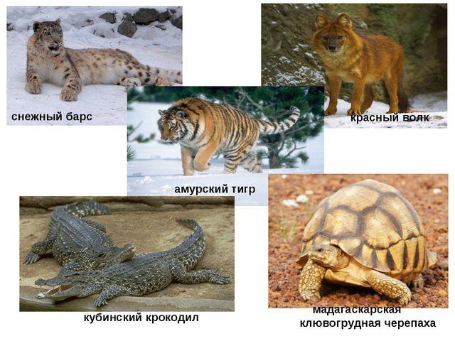 снежный барс красный волк амурский тигр мадагаскарская клювогрудная черепаха...