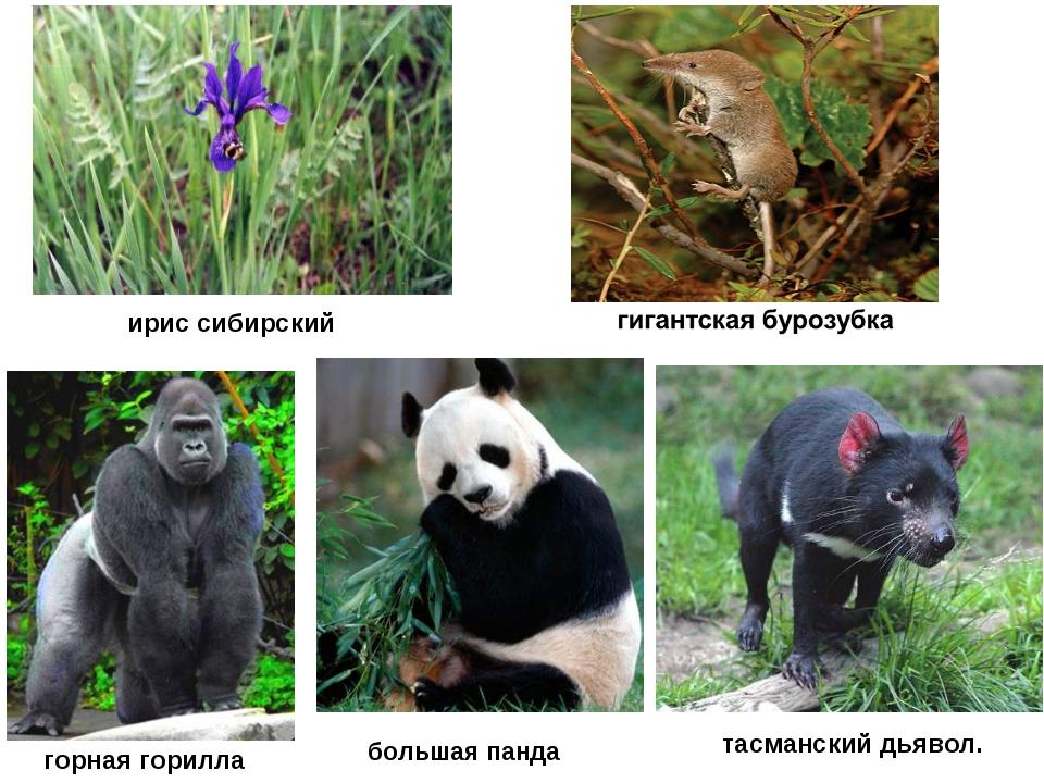 ирис сибирский тасманский дьявол. горная горилла большая панда