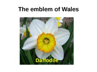 The emblem of Wales Daffodile