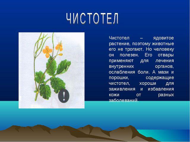 Чистотел – ядовитое растение, поэтому животные его не трогают. Но человеку он...