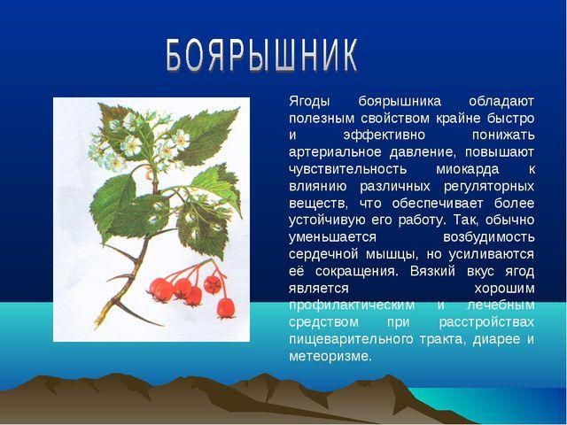 Ягоды боярышника обладают полезным свойством крайне быстро и эффективно пониж...