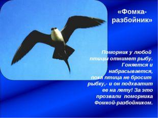 «Фомка-разбойник» Поморник у любой птицы отнимет рыбу. Гоняется и набрасывает