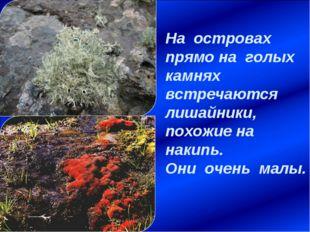 На островах прямо на голых камнях встречаются лишайники, похожие на накипь. О