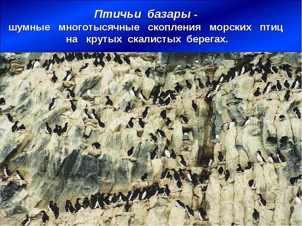 Птичьи базары - шумные многотысячные скопления морских птиц на крутых скалист...