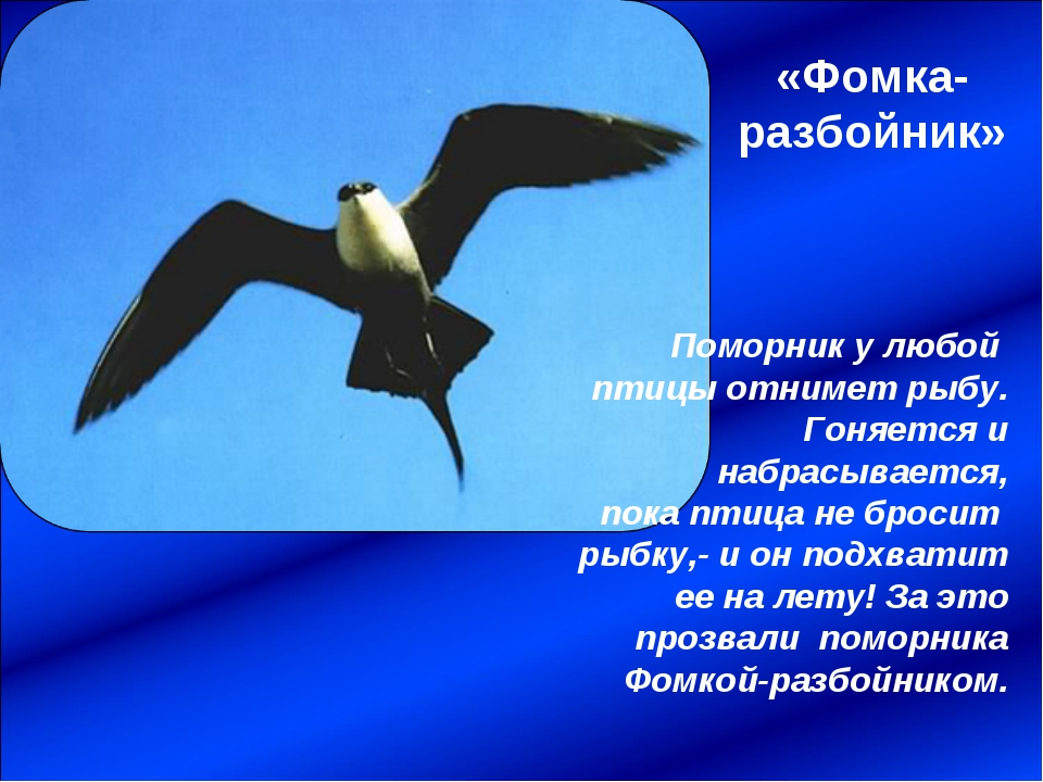 «Фомка-разбойник» Поморник у любой птицы отнимет рыбу. Гоняется и набрасывает...