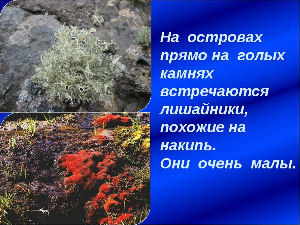 На островах прямо на голых камнях встречаются лишайники, похожие на накипь. О...