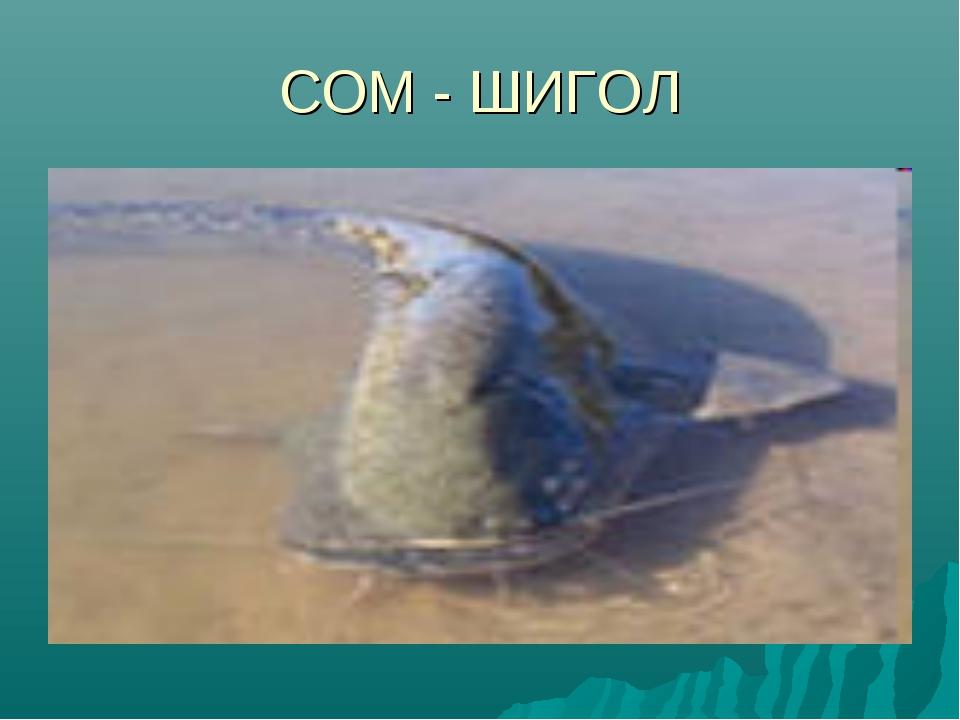 СОМ - ШИГОЛ