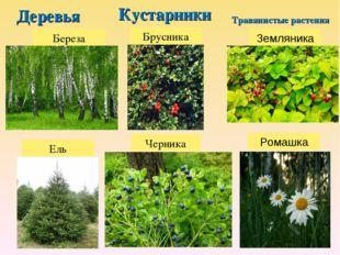 Деревья Кустарники Травянистые растения Береза Ель Брусника Черника Ромашка З